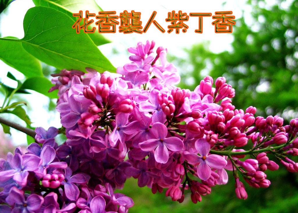 女色丁香_花之语第十一:阳光下的红叶——紫丁香