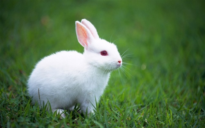 十几年前的春天,我带儿子逛街,儿子看到一位老人推着几对小白兔在出售。那胖乎乎、肉嘟嘟、毛茸茸、竖着耳朵、红眼珠刚刚满月的小白兔,正在咀嚼蒲公英嫩叶,嘴上的小胡须随着三瓣嘴的咀嚼一动一动,超可爱。儿子爱不释手的将小白兔捧在手里,墨迹我给他买一对。正好我也非常喜爱小兔子,也就找了个鞋盒,捧回家一对。  这下我可有活干了,在每天忙忙碌碌的工作中又增添了一份事情,那就是早晚给它们清扫兔舍,到附近的草丛里路边给它挖掘食物。什么蒲公英、车前草、鸡肠菜等。我和孩子们每天都趴在兔舍跟前欣赏上半天,由于饲养的上心,喂的食